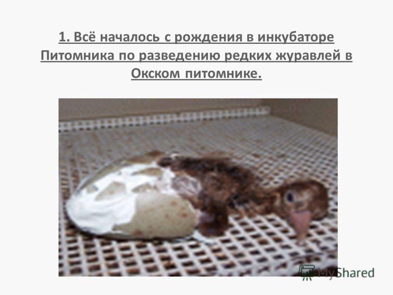 1. Всё началось с рождения в инкубаторе Питомника по разведению редких журавлей в Окском питомнике.