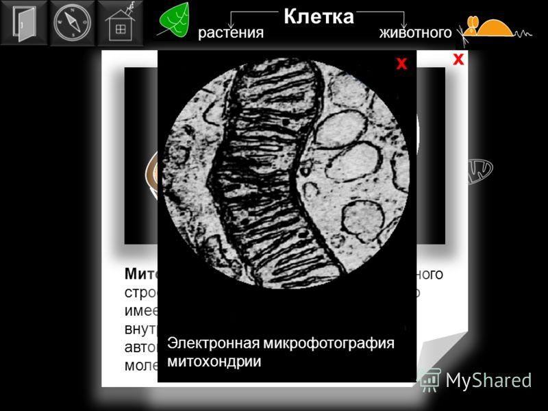митохондрия Электронная микрофотография митохондрии х х Клетка растения животного