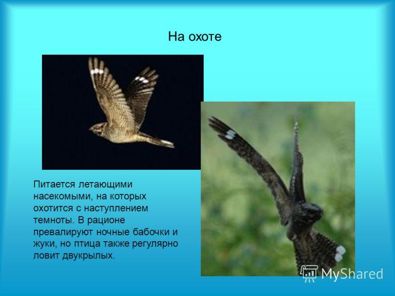 На охоте Питается летающими насекомыми, на которых охотится с наступлением темноты. В рационе превалируют ночные бабочки и жуки, но птица также регулярно ловит двукрылых.