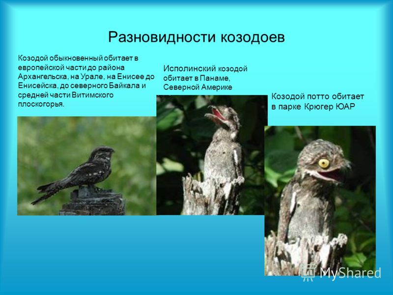 Разновидности козодоев Козодой обыкновенный обитает в европейской части до района Архангельска, на Урале, на Енисее до Енисейска, до северного Байкала и средней части Витимского плоскогорья. Исполинский козодой обитает в Панаме, Северной Америке Козо