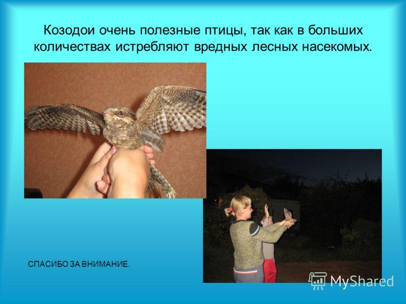 Козодои очень полезные птицы, так как в больших количествах истребляют вредных лесных насекомых. СПАСИБО ЗА ВНИМАНИЕ.