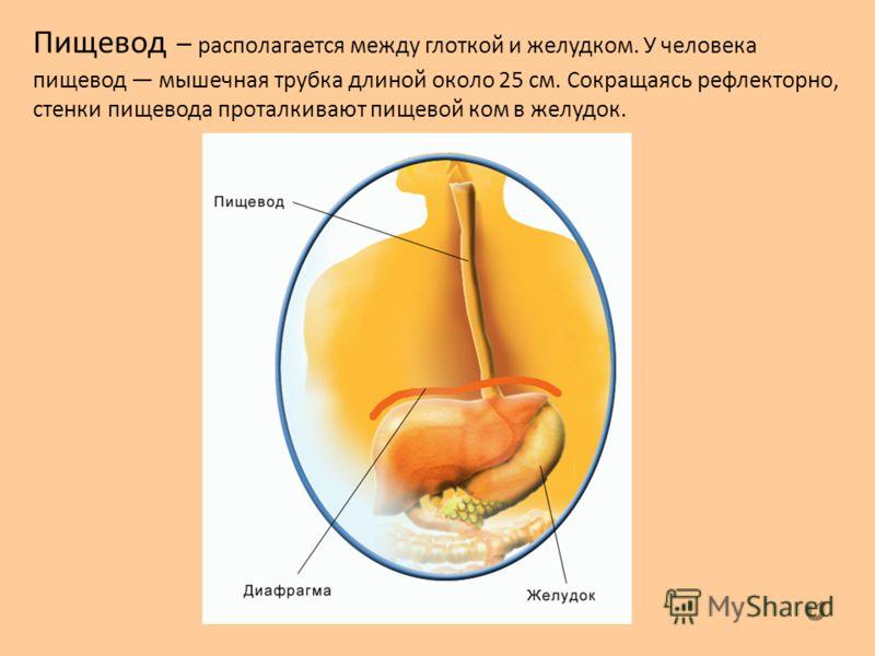 Пищевод – располагается между глоткой и желудком. У человека пищевод мышечная трубка длиной около 25 см. Сокращаясь рефлекторно, стенки пищевода проталкивают пищевой ком в желудок.
