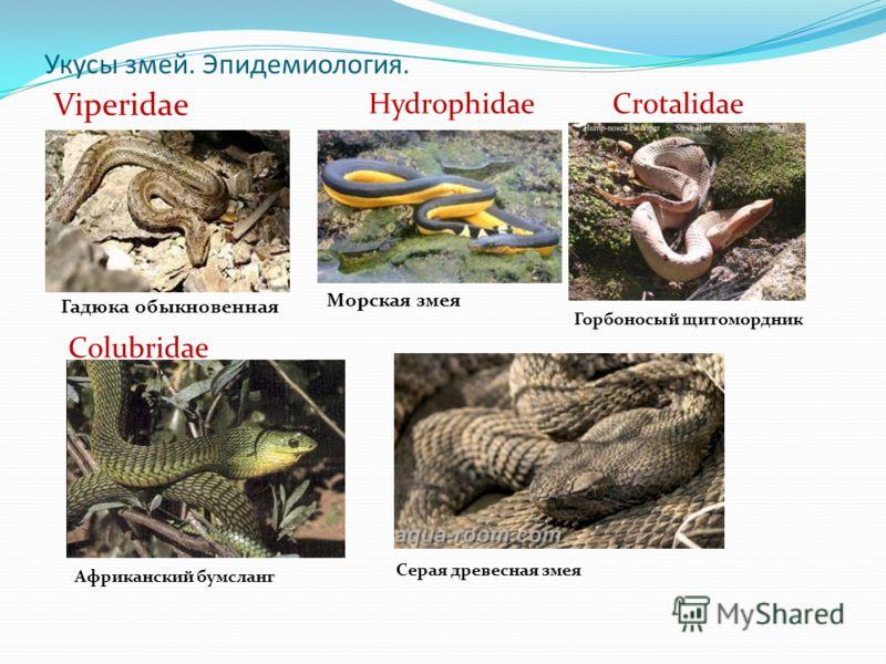 Укусы змей. Эпидемиология. Viperidae Гадюка обыкновенная Hydrophidae Морская змея Crotalidae Горбоносый щитомордник Colubridae Африканский бумсланг Серая древесная змея