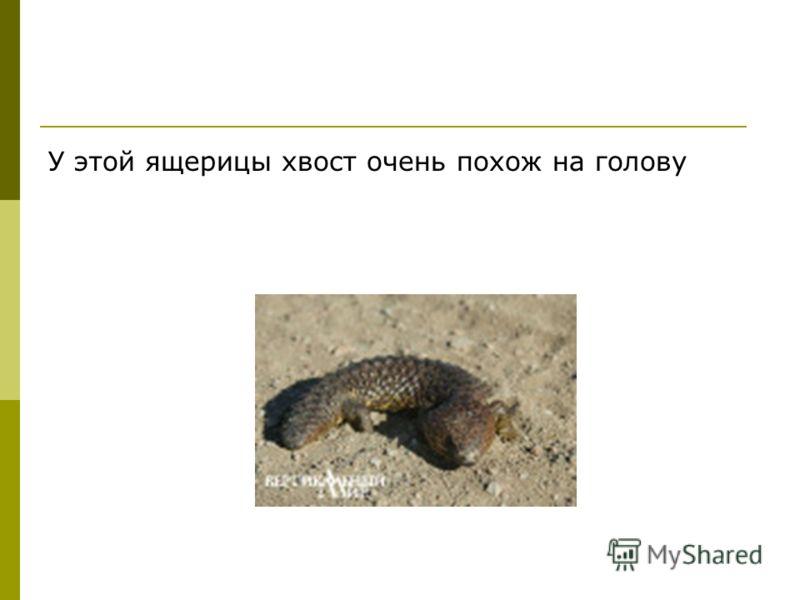 У этой ящерицы хвост очень похож на голову