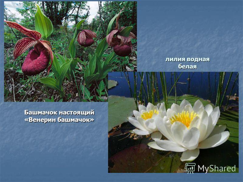 лилия водная белая Башмачок настоящий «Венерин башмачок»
