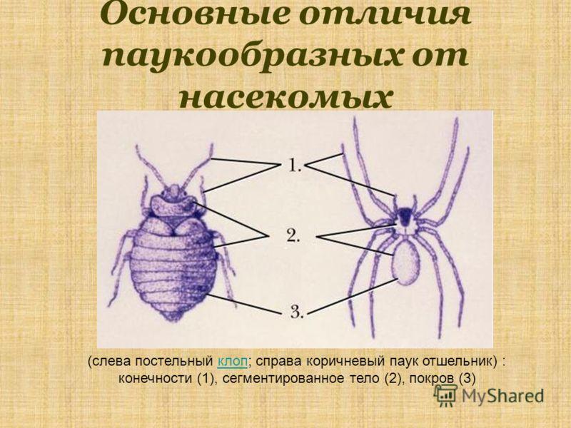 Основные отличия паукообразных от насекомых (слева постельный клоп; справа коричневый паук отшельник) : конечности (1), сегментированное тело (2), покров (3)клоп
