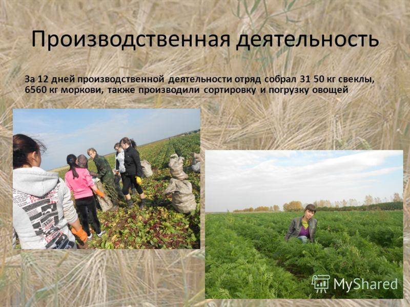 Производственная деятельность За 12 дней производственной деятельности отряд собрал 31 50 кг свеклы, 6560 кг моркови, также производили сортировку и погрузку овощей