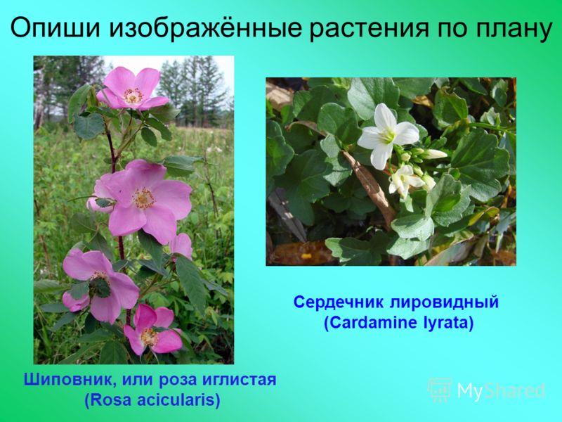 Опиши изображённые растения по плану Шиповник, или роза иглистая (Rosa acicularis) Сердечник лировидный (Cardamine lyrata)
