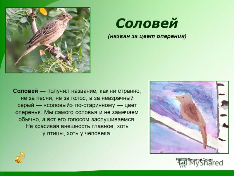 Зеленушка (названа за цвет оперения) Зеленушка – маленькая птичка, ростом с воробья. Перышки у нее зеленоватые – как первые зеленые листочки на деревьях. За это и прозвали ее зеленушкой. Рисунок Гайворонской Елизаветы