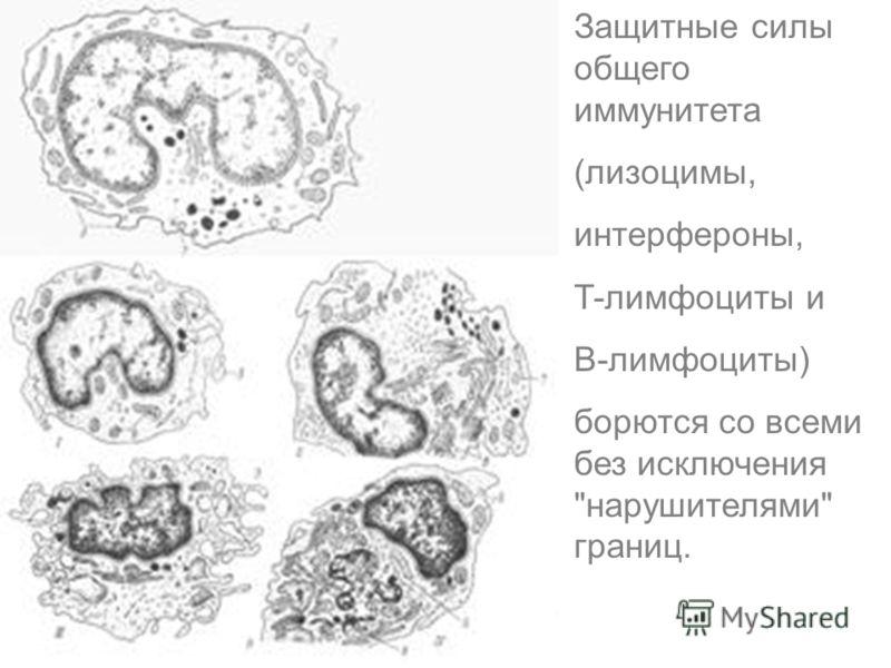 Защитные силы общего иммунитета (лизоцимы, интерфероны, T-лимфоциты и B-лимфоциты) борются со всеми без исключения нарушителями границ.