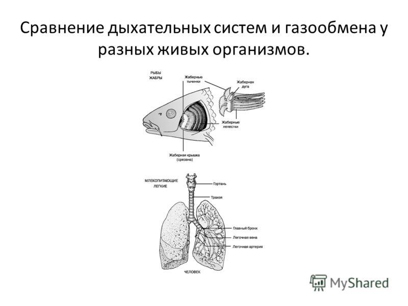 Сравнение дыхательных систем и газообмена у разных живых организмов.