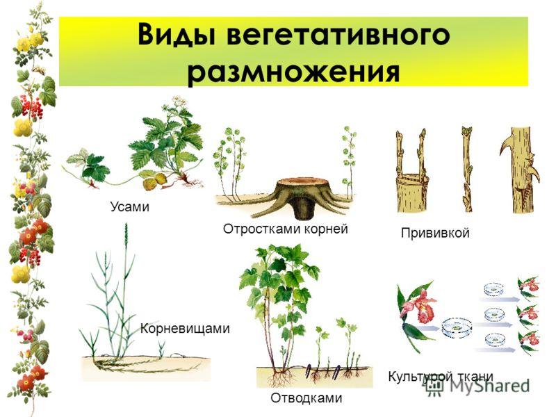 Виды вегетативного размножения