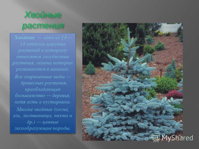 Хвойные растения Хвойные один из 13 14 отделов царства растений к которому относятся сосудистые растения, семена которых развиваются в шишках. Все современные виды древесные растения, преобладающее большинство деревья, хотя есть и кустарники. Многие