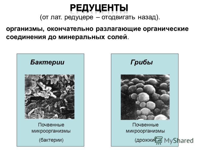 . Животные плотоядные Растения паразиты Растения насекомоядные Деструкторы (микроконсументы) Животные растительноядные ПовиликаБелкаЛеопарды Разрушители мертвой древесиныАзиатская саррацелия