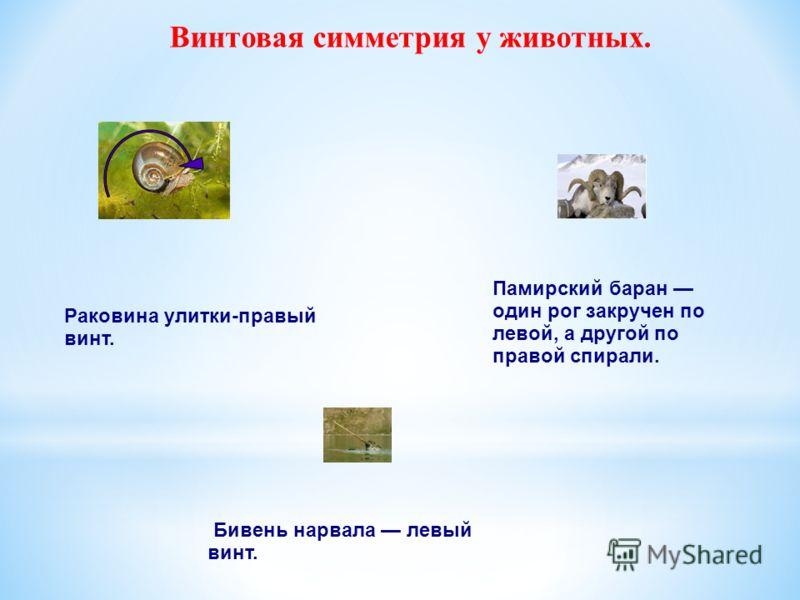 Винтовая симметрия у животных. Раковина улитки-правый винт. Памирский баран один рог закручен по левой, а другой по правой спирали. Бивень нарвала левый винт.