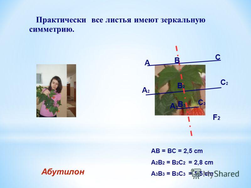 Практически все листья имеют зеркальную симметрию. Абутилон AB = BC = 2,5 cm A 2 B 2 = B 2 C 2 = 2,8 cm A 3 B 3 = B 3 C 3 = 1,5 cm F2F2 А B C А2А2 B2B2 C2C2 А3А3 B3B3 C3C3