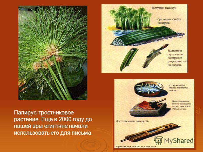 Папирус-тростниковое растение. Еще в 2000 году до нашей эры египтяне начали использовать его для письма.