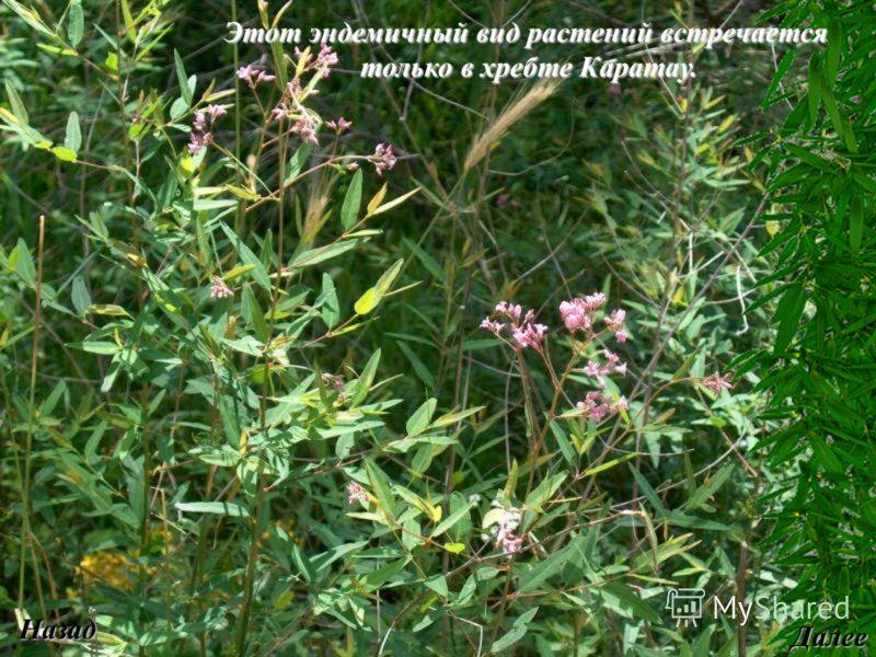 Этот эндемичный вид растений встречается только в хребте Каратау. только в хребте Каратау. Назад Далее