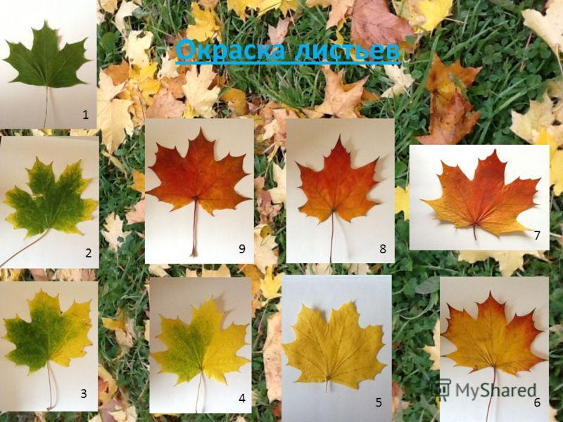 Окраска листьев 1 2 3 4 56 7 89