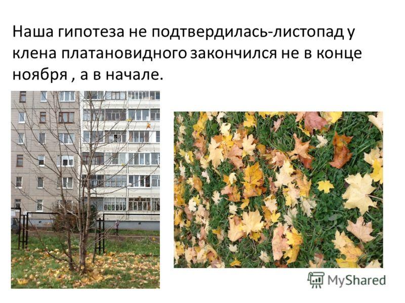 Наша гипотеза не подтвердилась-листопад у клена платановидного закончился не в конце ноября, а в начале.