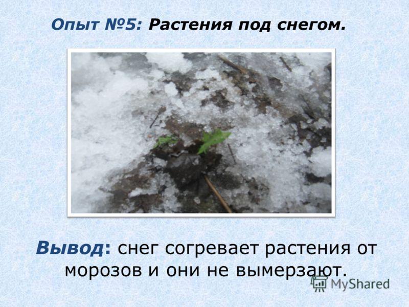Опыт 5: Растения под снегом. Вывод: снег согревает растения от морозов и они не вымерзают.