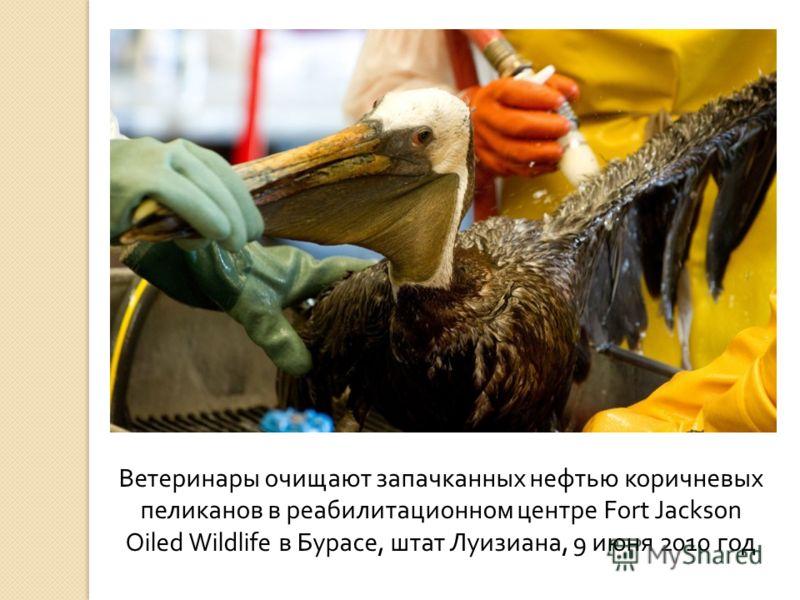 Ветеринары очищают запачканных нефтью коричневых пеликанов в реабилитационном центре Fort Jackson Oiled Wildlife в Бурасе, штат Луизиана, 9 июня 2010 год