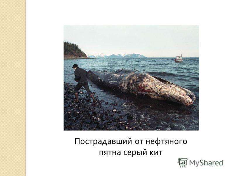 Пострадавший от нефтяного пятна серый кит