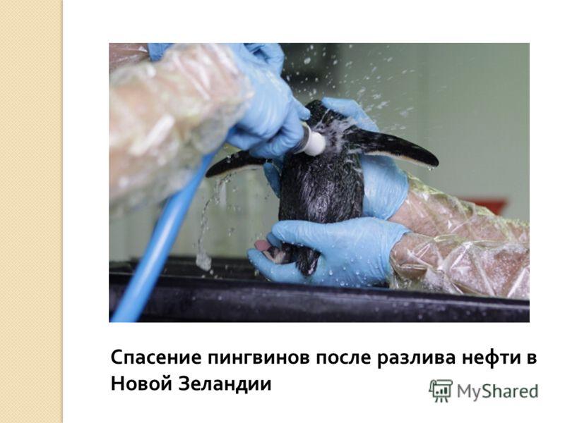 Спасение пингвинов после разлива нефти в Новой Зеландии