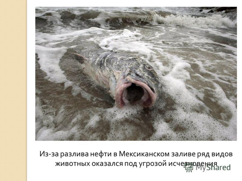 Из - за разлива нефти в Мексиканском заливе ряд видов животных оказался под угрозой исчезновения