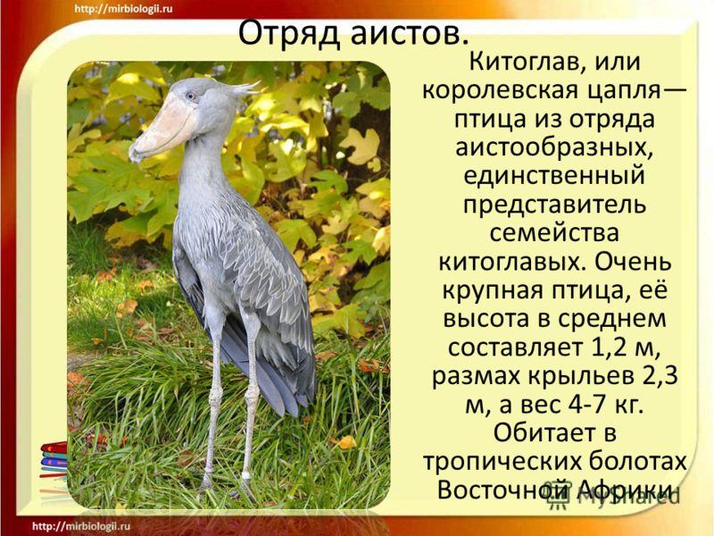 Отряд аистов. Китоглав, или королевская цапля птица из отряда аистообразных, единственный представитель семейства китоглавых. Очень крупная птица, её высота в среднем составляет 1,2 м, размах крыльев 2,3 м, а вес 4-7 кг. Обитает в тропических болотах