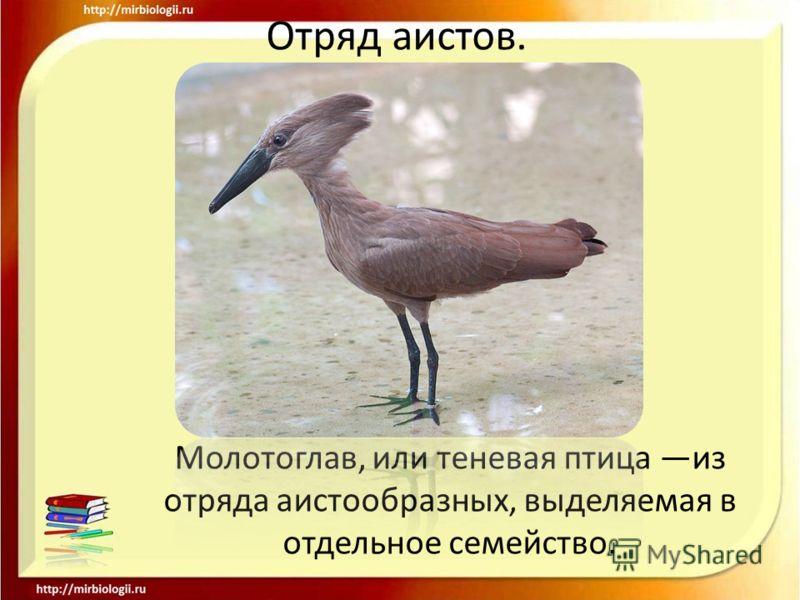 Отряд аистов. Молотоглав, или теневая птица из отряда аистообразных, выделяемая в отдельное семейство.