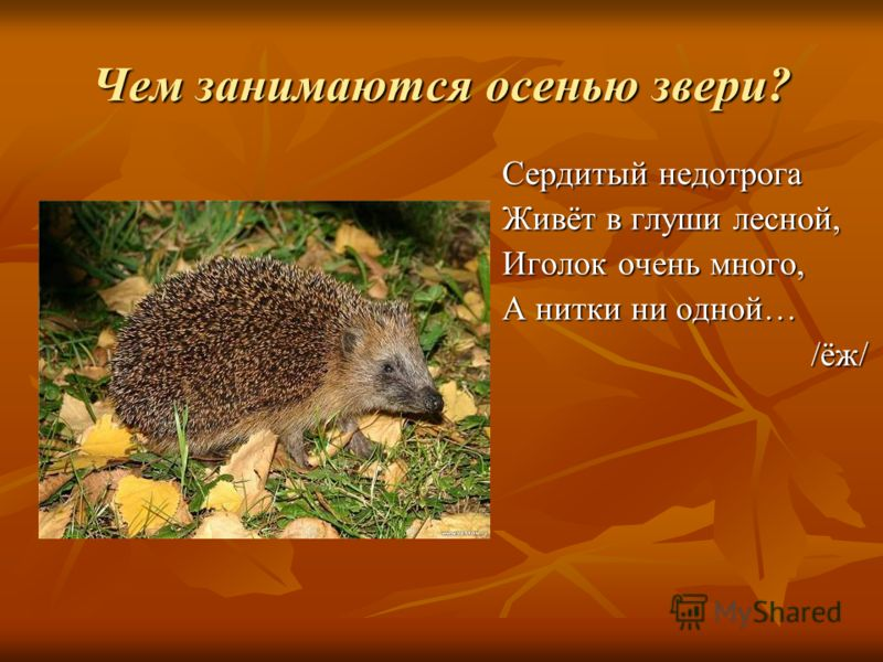 Чем занимаются осенью звери? Сердитый недотрога Живёт в глуши лесной, Иголок очень много, А нитки ни одной… /ёж/ /ёж/