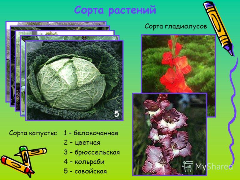 Сорта растений Сорта капусты: 1 – белокочанная 2 – цветная 3 – брюссельская 4 – кольраби 5 - савойская 1 23 4 5 Сорта гладиолусов