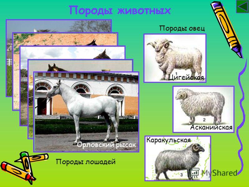 Породы животных Породы лошадей Арабская Ахалтекинская Владимирский тяжеловозОрловский рысак Породы овец Цигейская Асканийская Каракульская