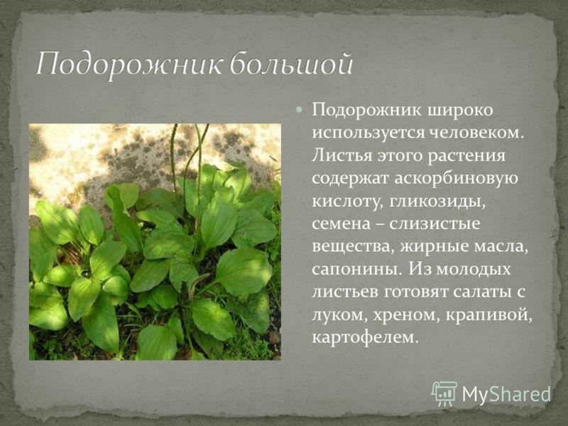 Подорожник широко используется человеком. Листья этого растения содержат аскорбиновую кислоту, гликозиды, семена – слизистые вещества, жирные масла, сапонины. Из молодых листьев готовят салаты с луком, хреном, крапивой, картофелем.