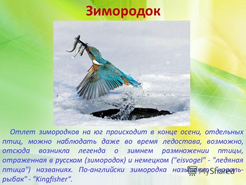 Зимородок Отлет зимородков на юг происходит в конце осени, отдельных птиц, можно наблюдать даже во время ледостава, возможно, отсюда возникла легенда о зимнем размножении птицы, отраженная в русском (зимородок) и немецком (