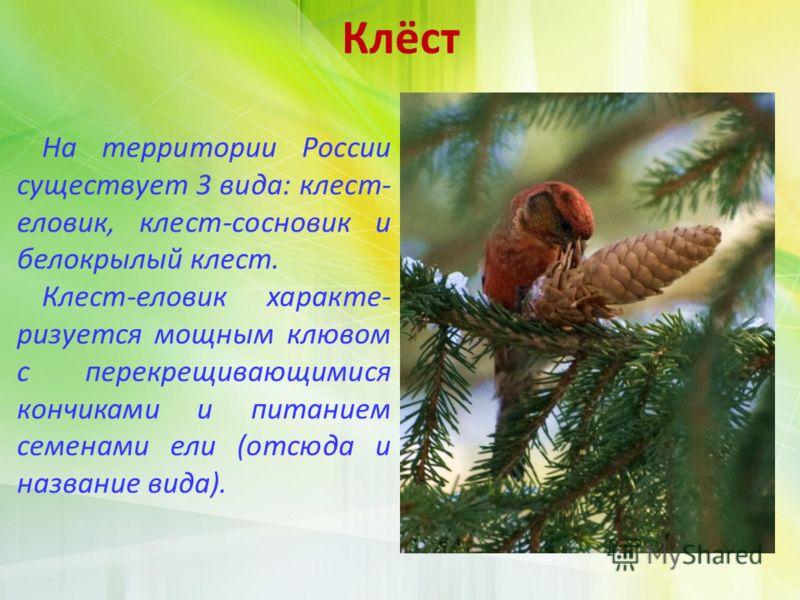 Клёст На территории России существует 3 вида: клест- еловик, клест-сосновик и белокрылый клест. Клест-еловик характе- ризуется мощным клювом с перекрещивающимися кончиками и питанием семенами ели (отсюда и название вида).