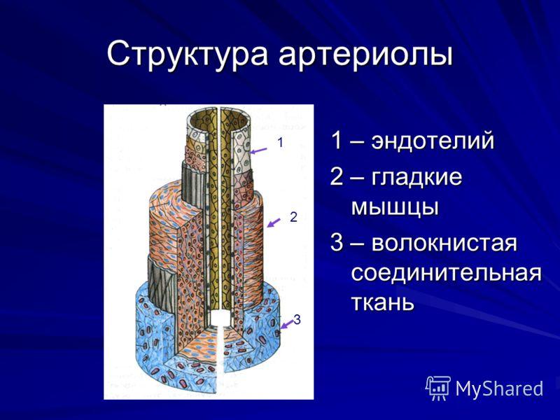 Структура артериолы 1 – эндотелий 2 – гладкие мышцы 3 – волокнистая соединительная ткань 1 2 3