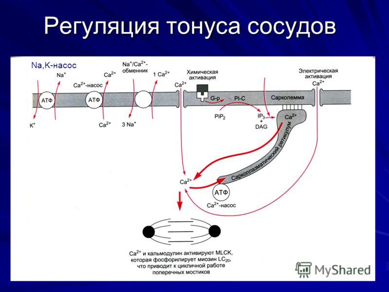 Регуляция тонуса сосудов Na,K-насос