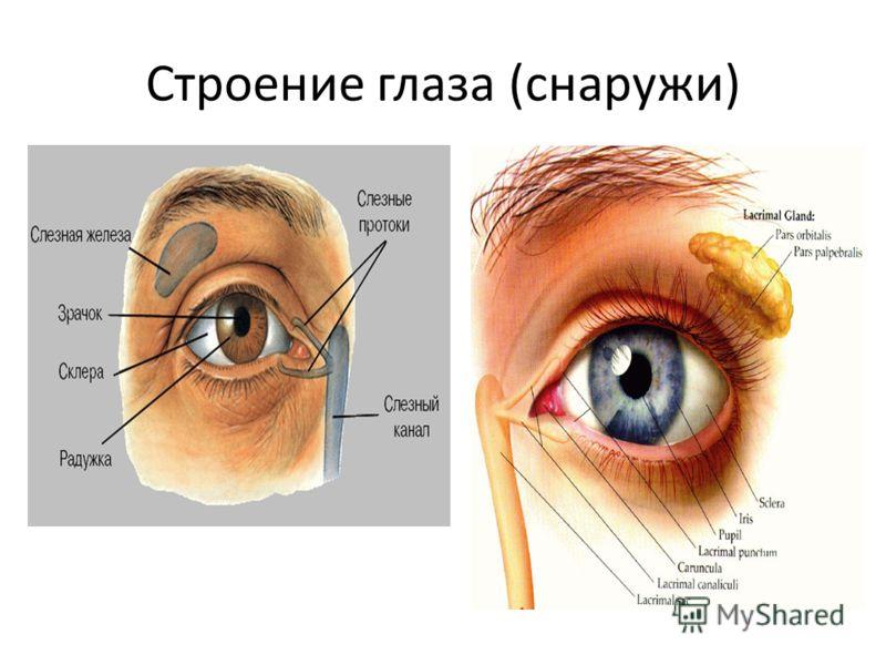 Строение глаза (снаружи)