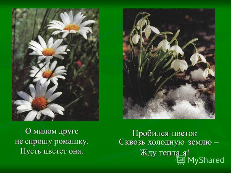 О милом друге не спрошу ромашку. Пусть цветет она. Пробился цветок Сквозь холодную землю – Жду тепла я!
