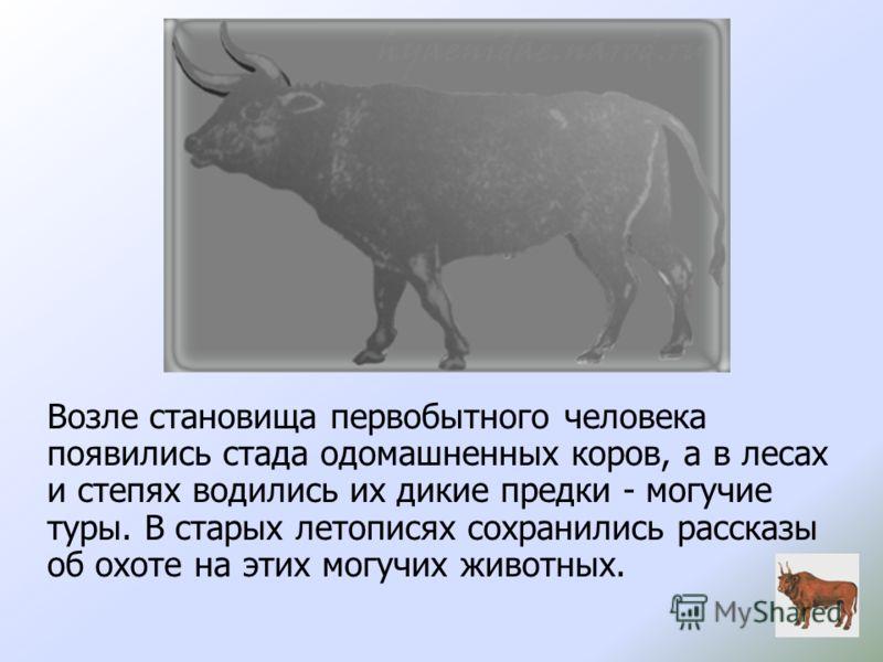 Возле становища первобытного человека появились стада одомашненных коров, а в лесах и степях водились их дикие предки - могучие туры. В старых летописях сохранились рассказы об охоте на этих могучих животных.