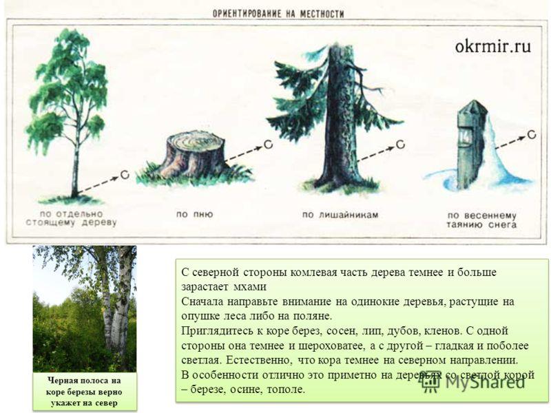 С северной стороны комлевая часть дерева темнее и больше зарастает мхами Сначала направьте внимание на одинокие деревья, растущие на опушке леса либо на поляне. Приглядитесь к коре берез, сосен, лип, дубов, кленов. С одной стороны она темнее и шерохо