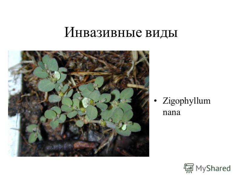 Инвазивные виды Zigophyllum nana