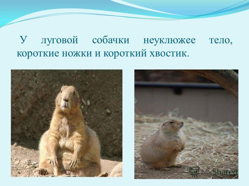 У луговой собачки неуклюжее тело, короткие ножки и короткий хвостик.