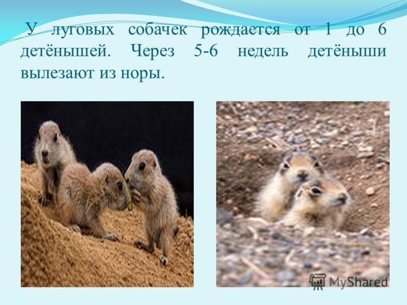 У луговых собачек рождается от 1 до 6 детёнышей. Через 5-6 недель детёныши вылезают из норы.