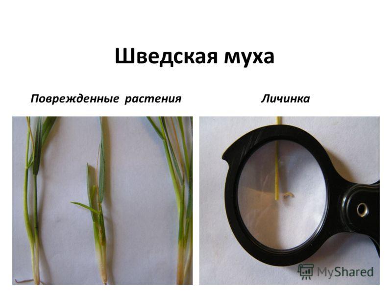 Шведская муха Поврежденные растения Личинка