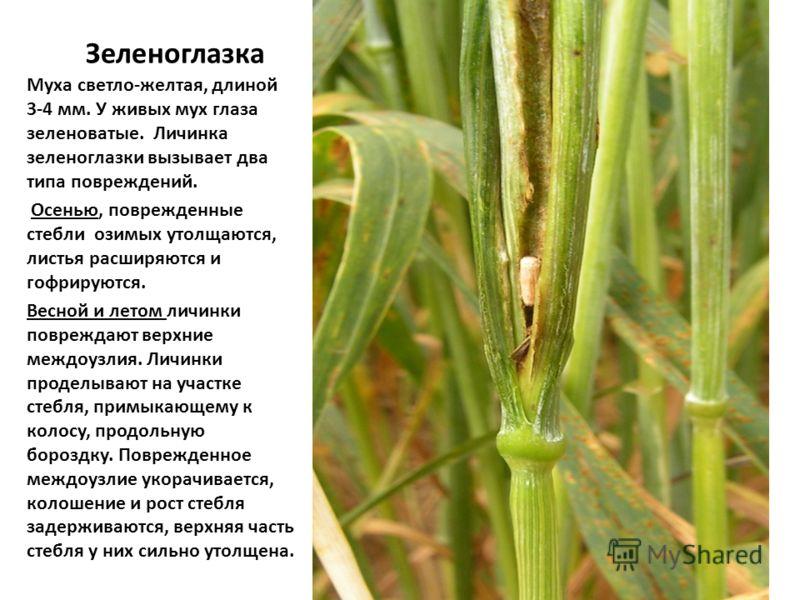 Зеленоглазка Муха светло-желтая, длиной 3-4 мм. У живых мух глаза зеленоватые. Личинка зеленоглазки вызывает два типа повреждений. Осенью, поврежденные стебли озимых утолщаются, листья расширяются и гофрируются. Весной и летом личинки повреждают верх