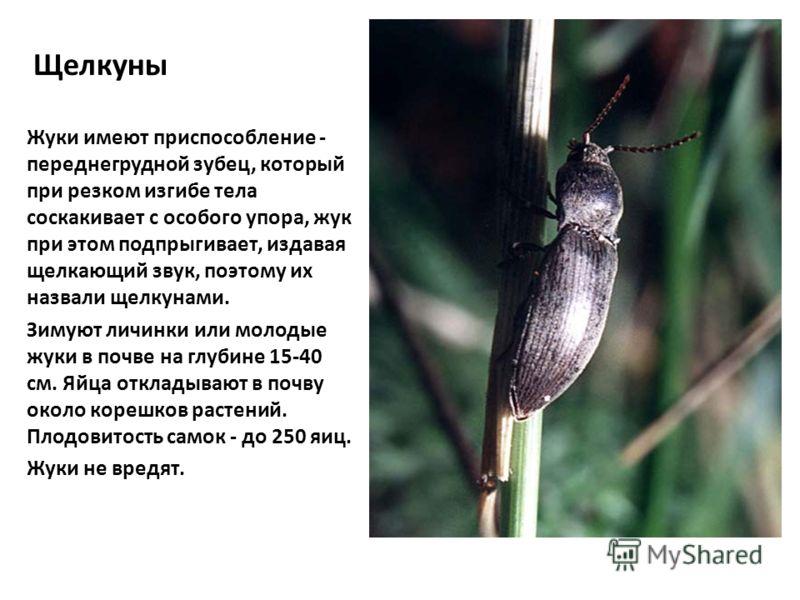 Щелкуны Жуки имеют приспособление - переднегрудной зубец, который при резком изгибе тела соскакивает с особого упора, жук при этом подпрыгивает, издавая щелкающий звук, поэтому их назвали щелкунами. Зимуют личинки или молодые жуки в почве на глубине