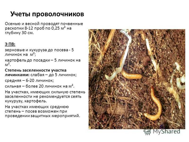 Учеты проволочников Осенью и весной проводят почвенные раскопки 8-12 проб по 0,25 м² на глубину 30 см. Э ПВ: зерновые и кукуруза до посева - 5 личинок на м²; картофель до посадки – 5 личинок на м². Степень заселенности участка личинками: слабая – до